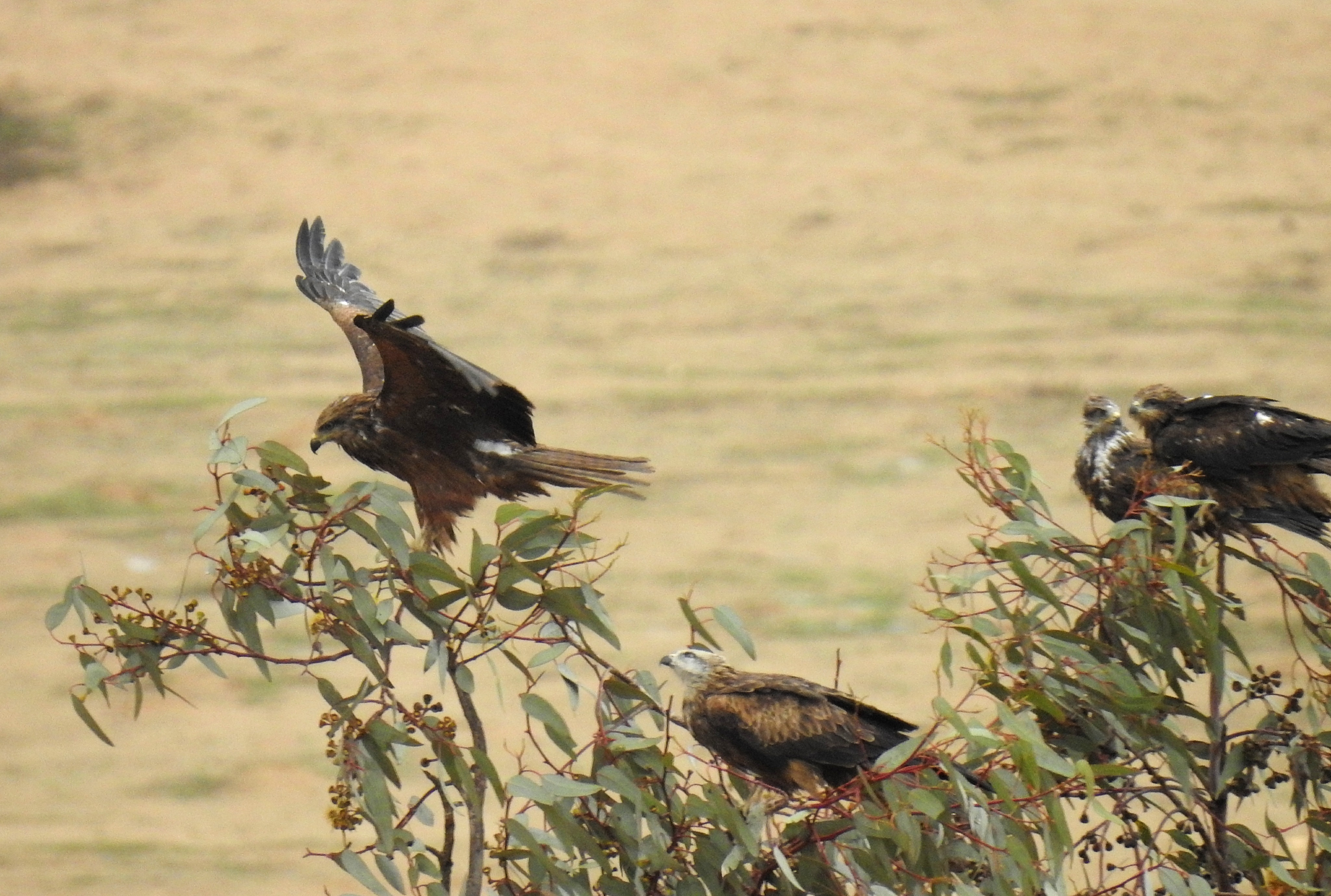 Some black kites perched nearby