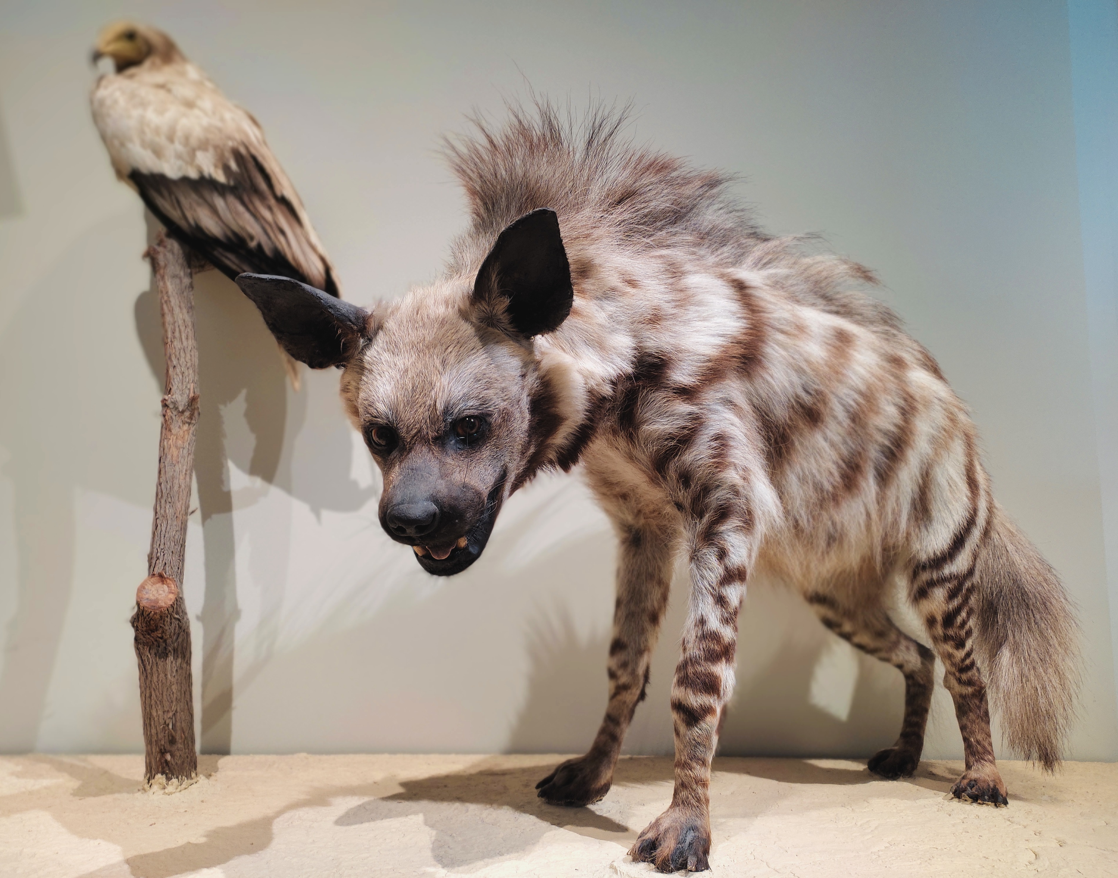 Striped hyena and Egyptian vulture
