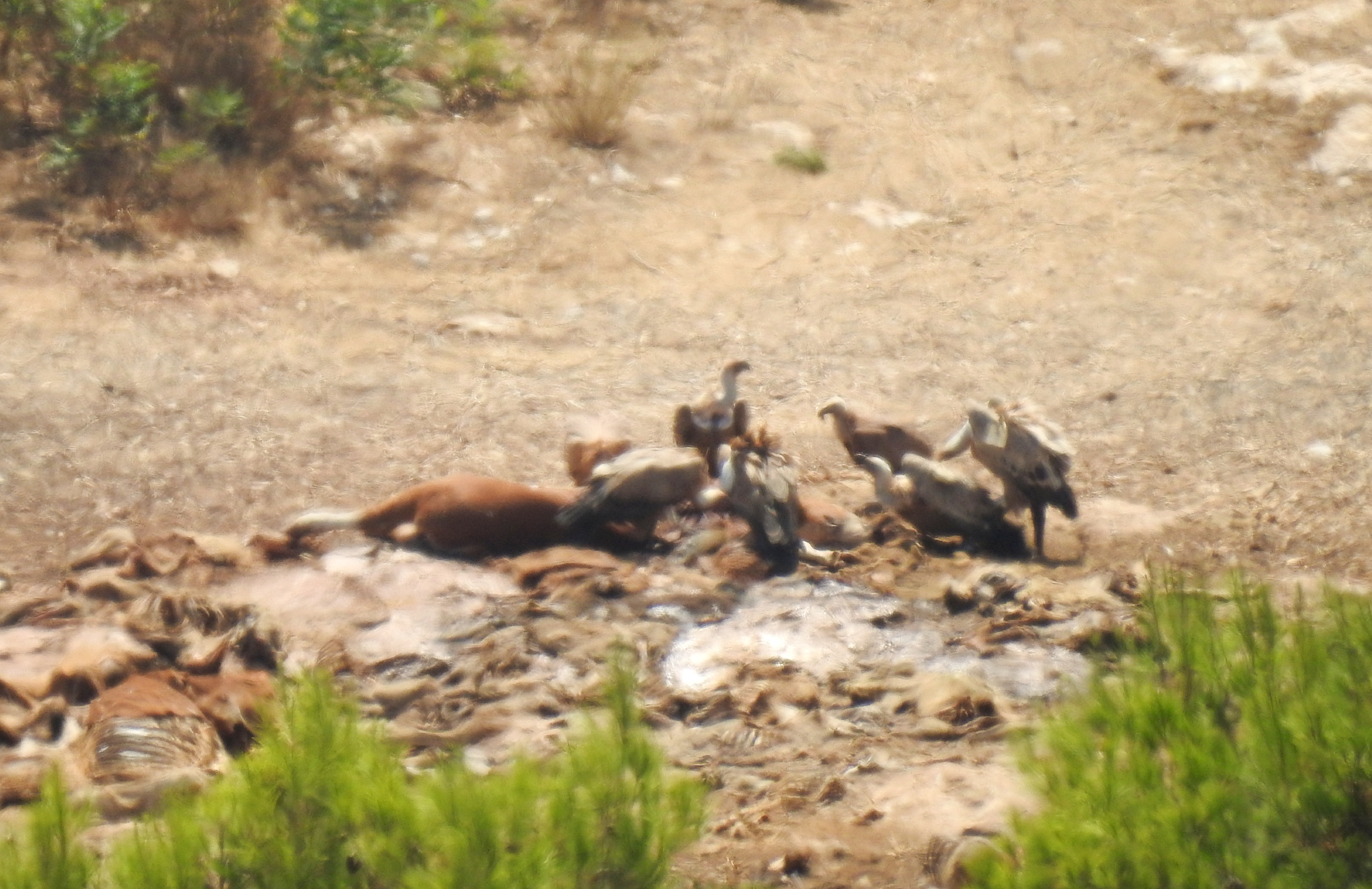 Griffon vultures at the feeding station